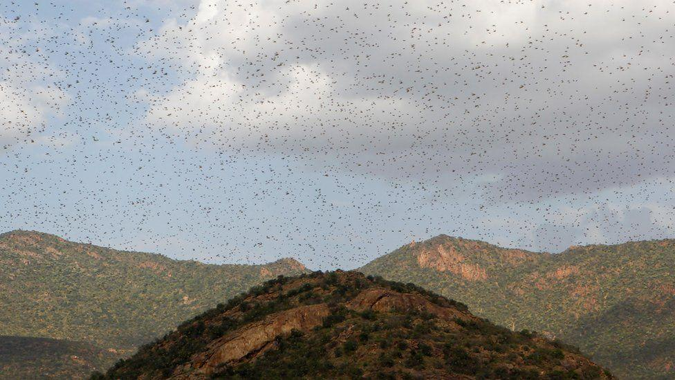 UN calls for locust assistance in East Africa