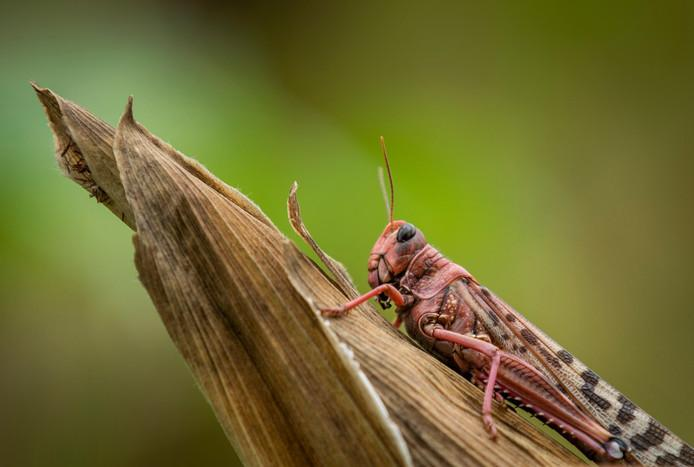 Photo of Desert locust invasion now affects South Sudan