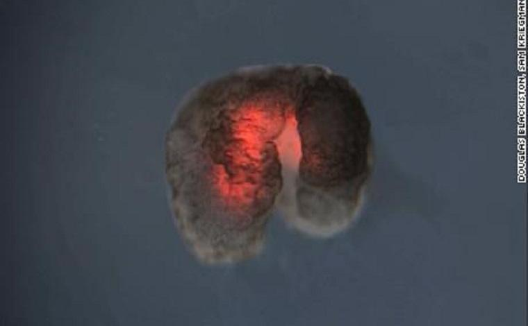Photo of Scientists develop new life form: the 'living robot'
