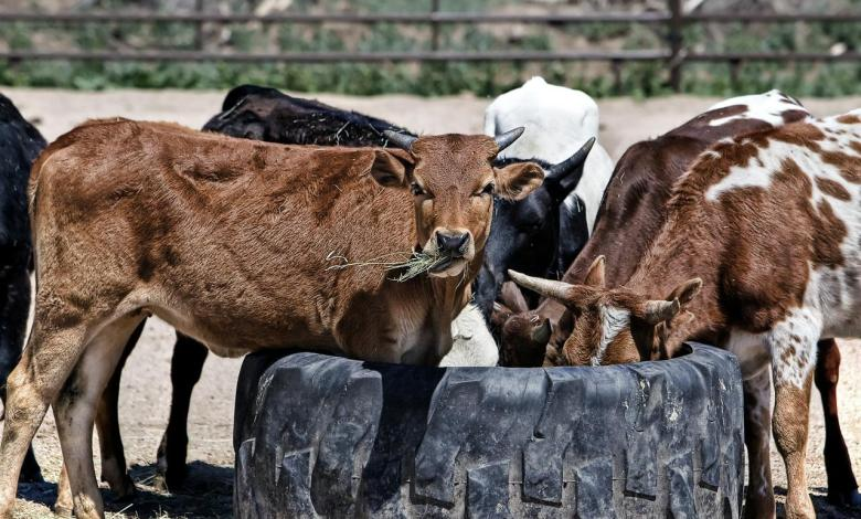 Photo of Chad pays Angola a debt of $100 million with cattle