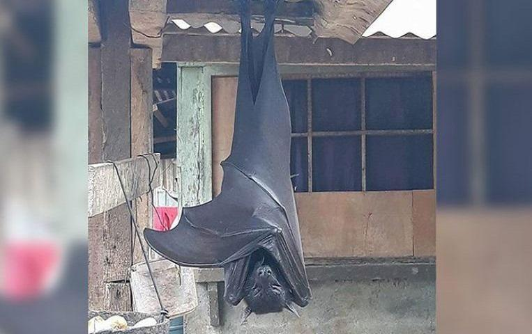 """You need to know about the """"human-sized"""" giant bat: is it real?"""
