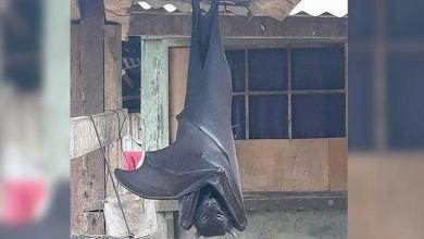 "Photo of You need to know about the ""human-sized"" giant bat: is it real?"