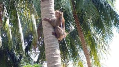 Photo of Extreme animal cruelty: Chained monkeys picks almost 1,000 coconuts a day