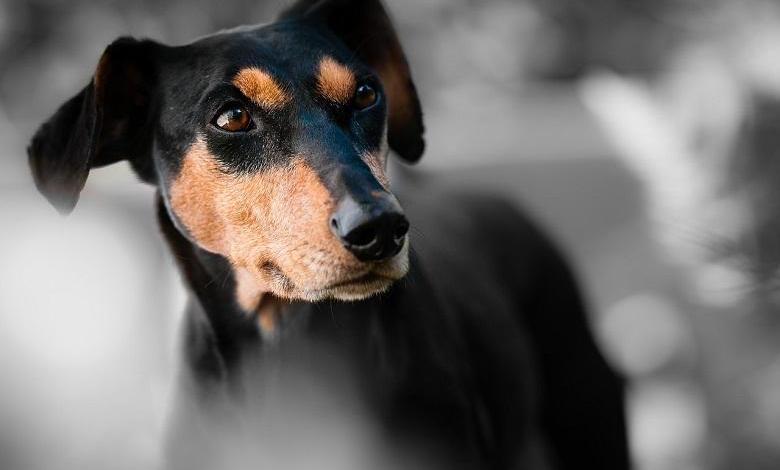 Photo of Dubai uses police dogs to detect travelers with coronavirus