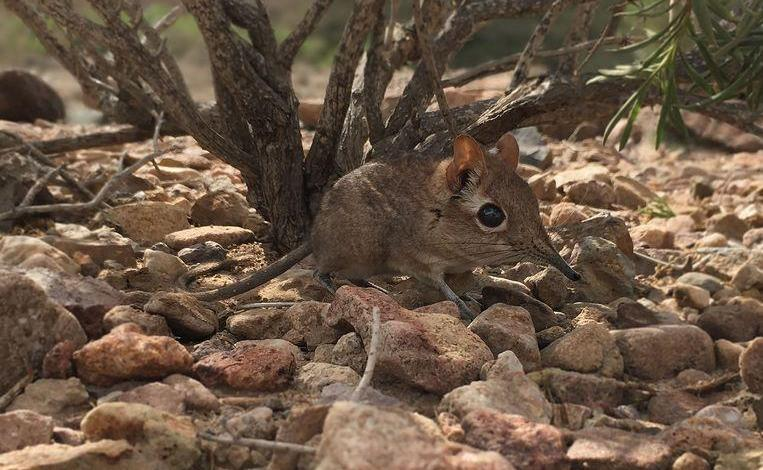 Photo of Runs 30km/hr: After 50 years, Somali elephant shrew rediscovered