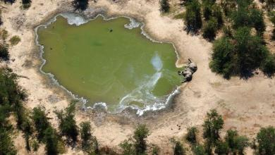 Photo of Mystery Solved: Blue-green algae caused massive elephant deaths in Botswana