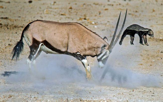 Honey badger fights antelope