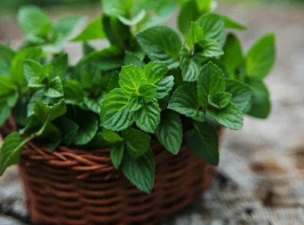 9 incredible health benefits of Mint leaves