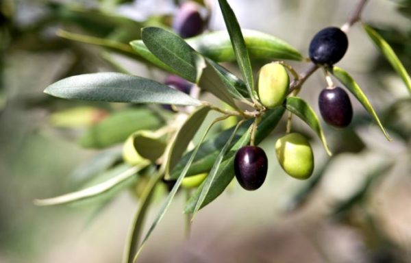 9 surprising health benefits of olive leaf extract