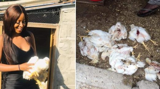 Viral! Young poultry farmer (22) woke to her 174 chicken brutally killed