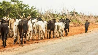 Bayelsa assembly passes bill against open grazing