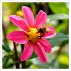 37 Piet Hanegraaf Bij op bloem