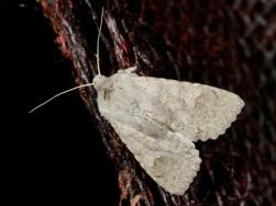 Ammoconia senex- Graue Frühherbsteule