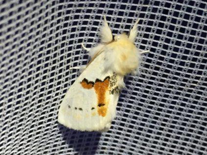 Leucodonta bicoloria, 16. Mai 2020 (Foto: Armin Dahl)