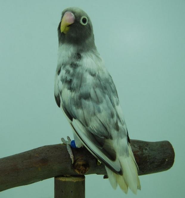 agaporni nigrigenis arlequin malva