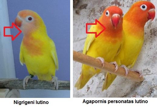 diferencia nigrigeni lutino con persontatas color amarillo