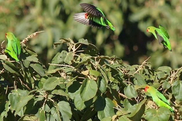 agapornis taranta o inseparables de alas negras