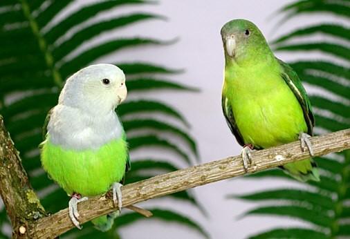 inseparable de madagascar color blanco y verde