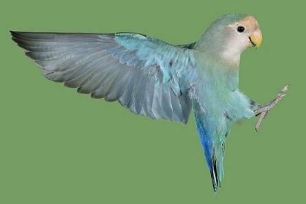 agaporni cuidado con alas desplegadas