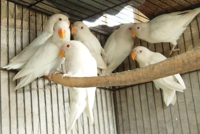 Agaporni blanco albino
