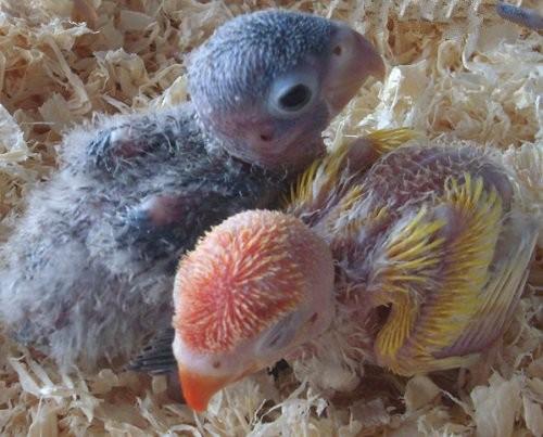 agapornis sacados del nido para criar con papilla