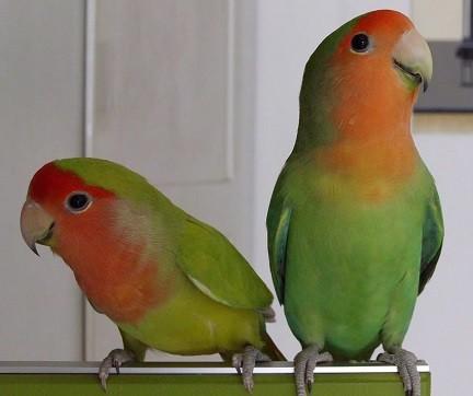 diferencias agapornis machos y hembras