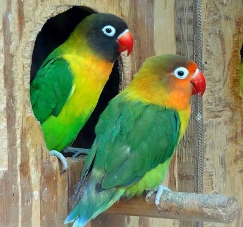 Como hacer nidos para agapornis inseparables – Consejos y medidas
