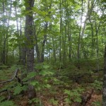 Whitetail deer diminish diversity of Minnesota's northern forests