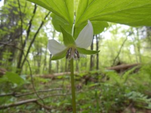 Nodding trillium. Photo by Paul Ojanen.