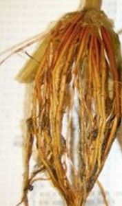 Wild rice roots from a low-sulfate environment. Photo courtesy John Pastor.