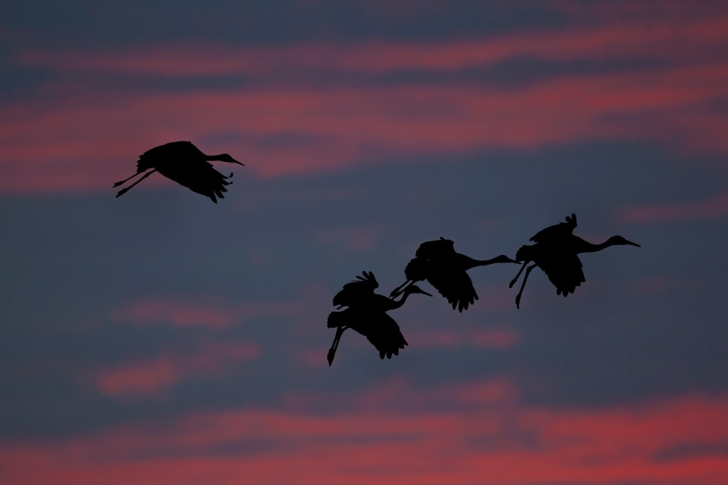 Sandhill Cranes. Photo © Ted Thousand. Used with permission.