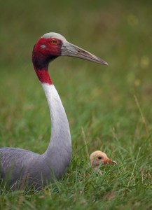 Sarus Crane with colt. Photo © Ted Thousand. Used with permission.