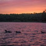 Loons on Jasper Lake. Photo by Chuck Dayton.