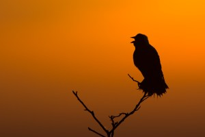 A bobolink sings at dawn. Photo © John Duren