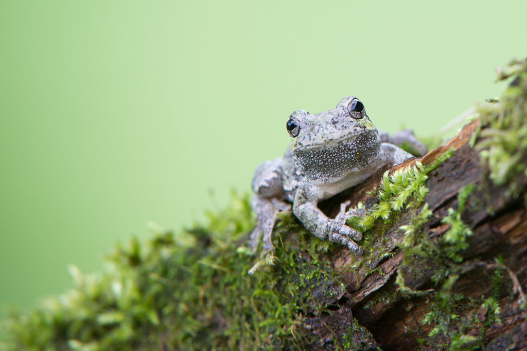 Gray Tree Frog (Near Interstate Park, WI). Photo © Bruce Leventhal