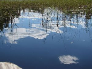 Wild rice reflections. Photo courtesy Superior National Forest