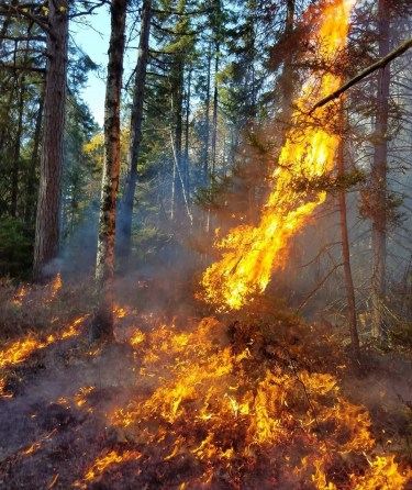 A fire leaps up to the treetops as it changes from a ground fire to a crown fire. Photo: Vern Northrup