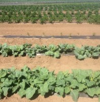 Cabbage at the AG Farm