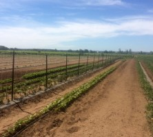 Trellis of Heirloom Tomatoes at the AG Farm