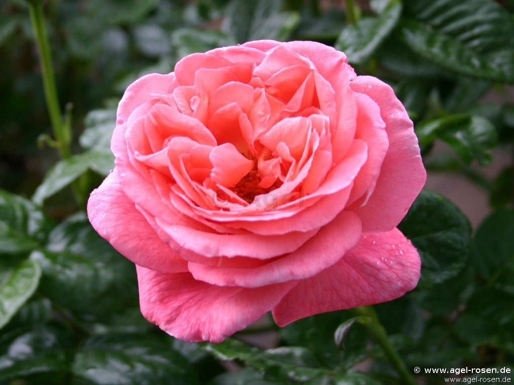 Rosen Parfum Selber Machen rosen duschgel selber machen
