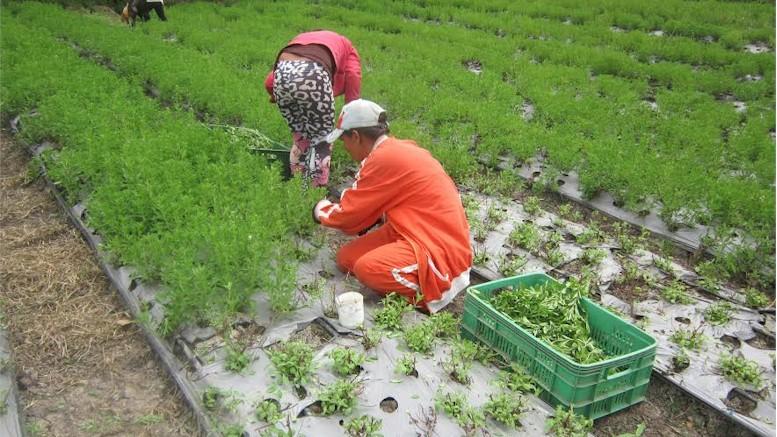 STEVIAGRO S.A.S: El éxito de la stevia  #agenciapyme