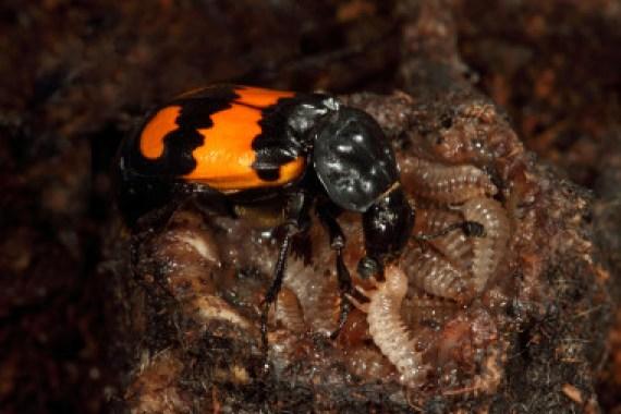 <p>Una hembra de escarabajo enterrador alimenta a sus larvas alojada en el interior del cadáver de un ratón. /Heiko Bellmann</p>