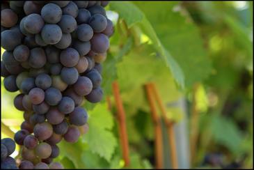 Mapa mundial de áreas adecuadas para el cultivo de uva (por Conservation International)