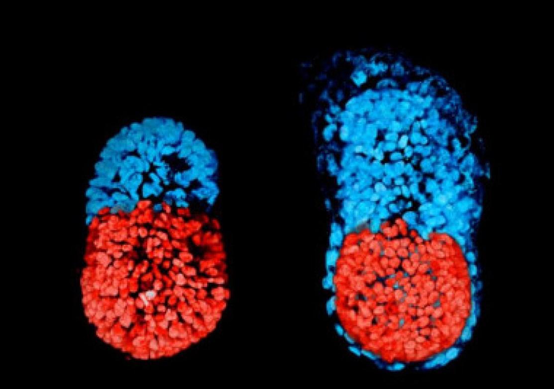 <p>A la izquierda, imagen del embrión de ratón con células madre a las 96 horas. A la derecha, el embrión de ratón cultivado <em>in vitro</em> durante 48 horas desde la etapa de blastocisto. La parte roja es embrionaria y la azul, extraembrionaria. / Sarah Harrison et al</p>
