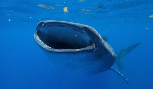 <p>El tiburón ballena es el pez más grande del mundo. Puede medir hasta casi 19 metros de longitud, según el nuevo estudio. /Guy Harvey Ocean Foundation</p>