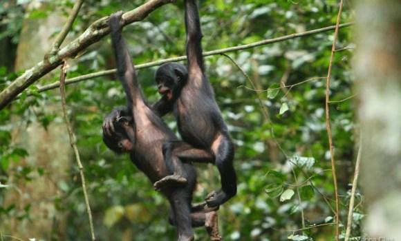 170711_bonobosmacho