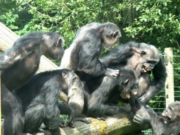 Aunque las peleas entre otros primates, como los chimpancés, son habituales, no responden al sentimiento de odio consciente, como el humano. / Chris Allen