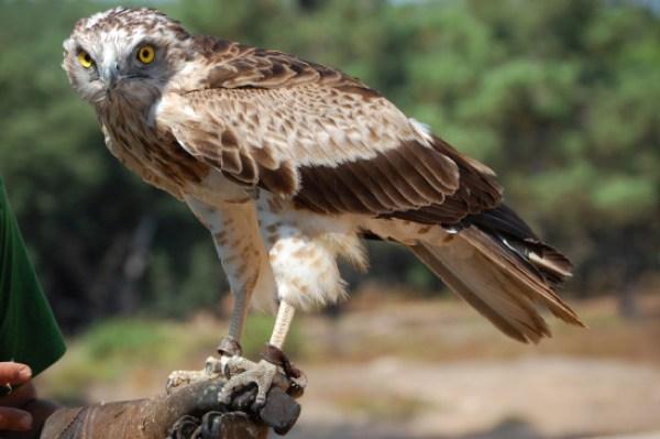 Águila culebrera / Wikipedia
