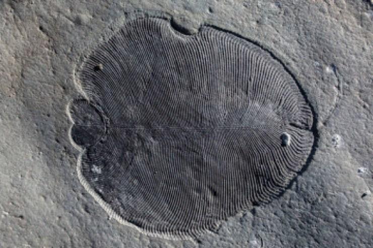 Restos fósiles de Dickinsonia