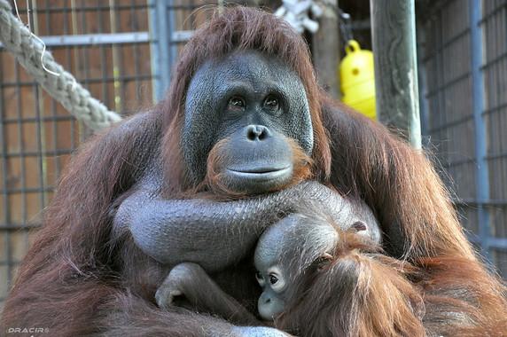 Los-monos-saben-cuando-te-equivocas_image_380